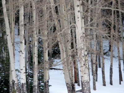 aspens in the snow.JPG